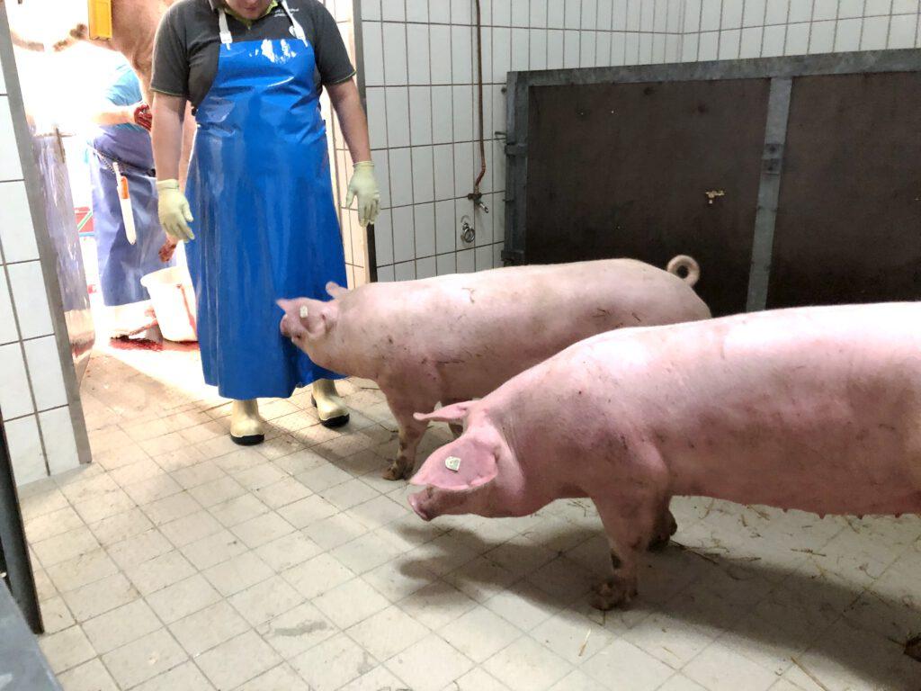 Schweine im Schlachtraum der Metzgerei Grießhaber